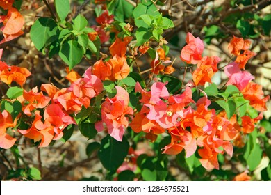 Bougainvillea flowers with green leaves. Lilac bougainvillea flowers blossoming in garden. Close up view of bougainvillea red flowers. Tropical flowers on bush