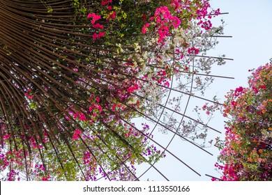 Bougainvillea flowers growing on metal rods in a garden, California