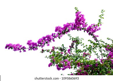 Bougainvillea flowers on white background