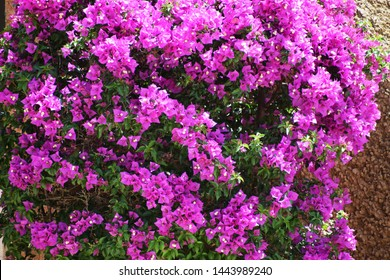 Bougainvillea flowers. Pink Bougainvillea flowers on the wall. Background with blooming flowers.