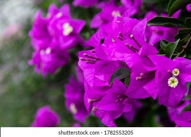Bougainvillea flowers and bougainvillea plant tree in summer season. This Bougainvillea flowers are pink and purple. Magenta bougainvillea flowers. A wallpaper texture pattern background.