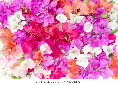 Bougainvillea flowers and bougainvillea plant tree in summer season. This Bougainvillea flowers are pink and purple. Magenta bougainvillea flowers. Postcard or wallpaper texture pattern background.