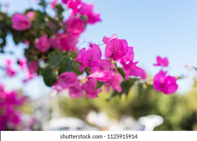 Bougainvillea flowers and bougainvillea plant tree under the shiny blue sky in summer season. This Bougainvillea flowers are pink, red, white, purple, magenta. Bodrum, Turkey or Greece view landscape.