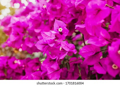 bougainvillea flowers purple bush or buganvilla, bugambilia, bunga kertas, Napoleon, Santa Rita or Papelillo