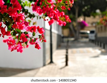 Bougainvillea flowers in sunshine, brightly lit narrow suburbia street.