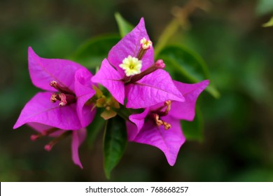Bougainvillea flowers texture and background. Purple flowers of bougainvillea tree. Close up view of bougainvillea purple flower. Colorful purple flowers texture and background for designers.