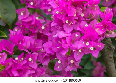 Bougainvillea flowers texture and background. Red flowers of bougainvillea tree. Close up view of bougainvillea red flower. Colorful purple flowers texture and background for designers.