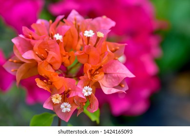 Bougainvillea flowers texture and background. red  flowers of bougainvillea tree. Close up view of bougainvillea flower.  shallow dept of field.