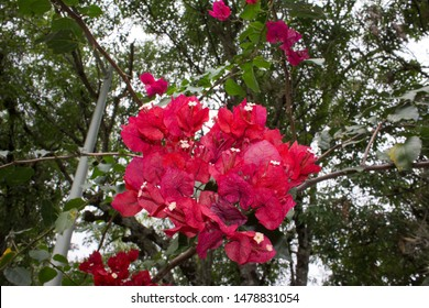 Bougainvillea in full bloom during the summe