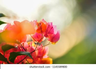 Bougainvillea in full bloom during the summer , shallow dept of field. (Other names are Bougainvillaea, buganvilla, bugambilia, bunga kertas, Napoleon, veranera, trinitaria, Santa Rita or Papelillo )