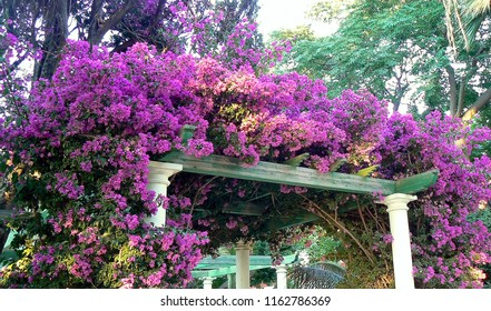 Bougainvillea or bougainvillea in the garden of the park called Alameda Apodaca in the bay of Cádiz capital, Andalusia. Spain. Europe.