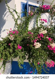 Bougainvillea is a genus of thorny ornamental vines, bushes, or trees.