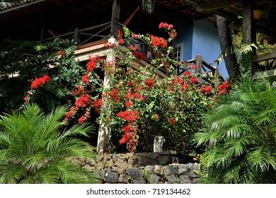 Bougainvillea glabra decorating beach house garden