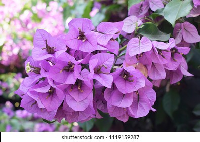 Bougainvillea glabra, the lesser bougainvillea or paperflower. Flower tree originated from Brazil and commonly called Santa Rita or Flor de papel.