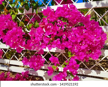 bougainvillea at a house driveway