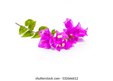 Bougainvillea leaf and flower isolated on white background
