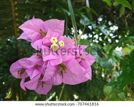 Bougainvillea Mrs Eva Flowers Paper Flowers Stock Photo Edit Now