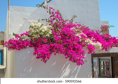 Bougainvillea on the wall of a Greek house.