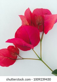 Bougainvillea on white background
