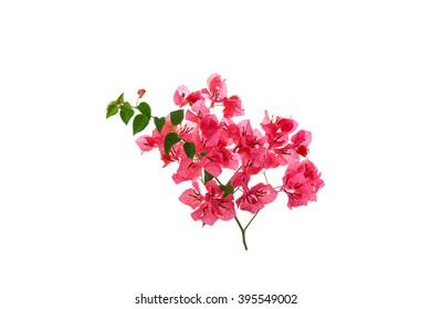 Bougainvillea on white background ,Provincial flower of phuket thailand