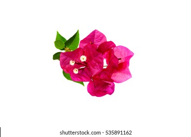 Bougainvillea on white background ,Provincial flower of phuket thailand