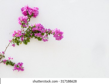 Bougainvillea on white wall
