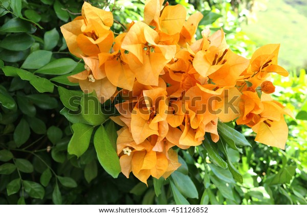 stock photo Hawaiian bougainvillea flower