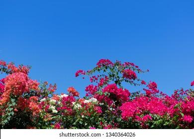 Bougainvillea or Paper Flower on blue sky background.(Bougainvillea hybrid)