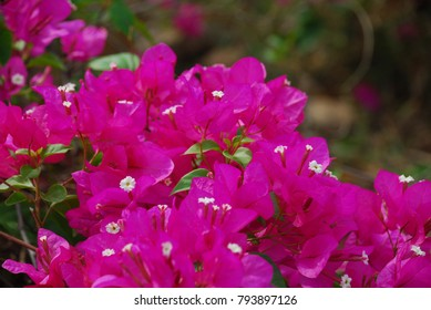 Natural branch of a pink bush with thorns images stock photos bougainvillea perennial bush the thorns up the trunk single leaves alternate with slightly raised hairs mightylinksfo