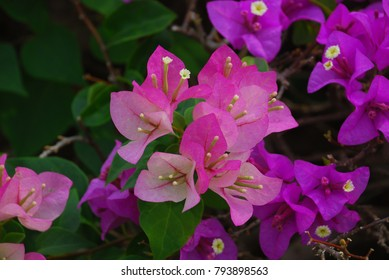 Thorn bush flowers images stock photos vectors shutterstock bougainvillea perennial bush the thorns up the trunk single leaves alternate with slightly raised hairs mightylinksfo