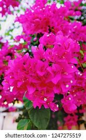 Bougainvillea pink color background