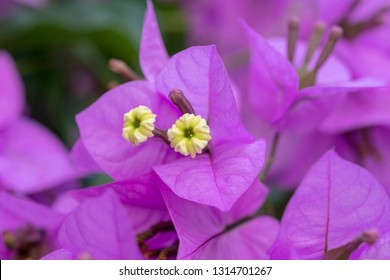 bougainvillea, the pink flower of the aegean a typical sign of summer