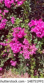 bougainvillea pink flower Greek summer