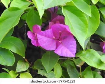 Bougainvillea - Pink paper flower
