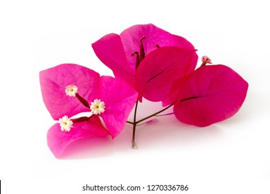 Bougainvillea pink shrub flowers cut out on white background