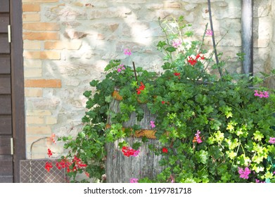 Bougainvillea plant and flowers in the barrel (Marche, Italy, Euope)