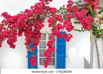 Bougainvillea Plant in full bloom falling in front of window with bright blue exterior shutters. Stock Image.