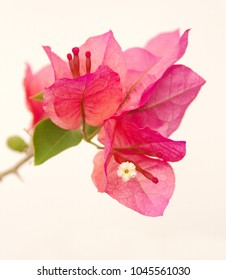 Bougainvillea plant with red-pink flowers