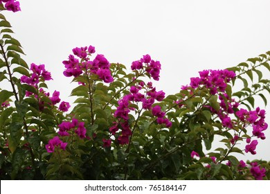 Bougainvillea searching for the sky