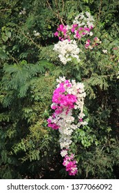 A Bougainvillea shows its colorful and Paper flowers that enjoy the spring sun