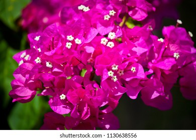 Bougainvillea spectabilis, Beautiful purple and white floral background.