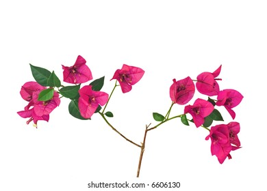Bougainvillea sprout with purple flowers against a white background