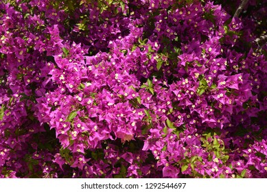 Bougainvillea, summer flowers.  Blooming  bougainvillea as floral background.