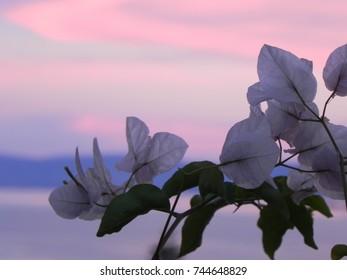 Bougainvillea Sunset