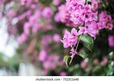 Bougainvillea Thailand Flower /