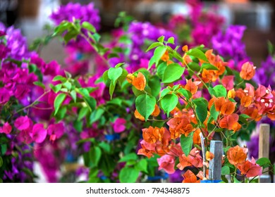 Bougainvillea is a thorny ornamental vines, bushes, and trees with flower-like spring leaves near its flowers