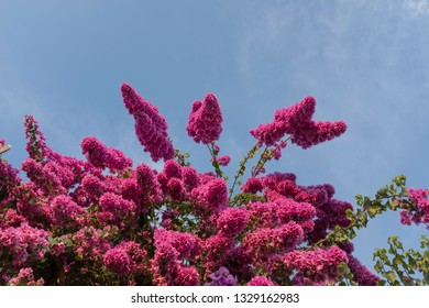 Bougainvillea trees in blossom against blue sky