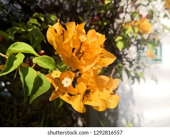Bougainvillea.Close up of Blooming bougainvillea with sunshin.Yellow bougainvillea flowers texture and background for designers,bougainvillea flowers as a background. floral background.