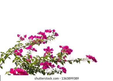 Bougainvilleas branch isolated on white background.Clipping path.