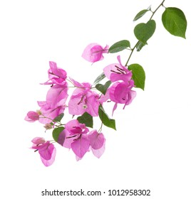 bougainvilleas isolated on white